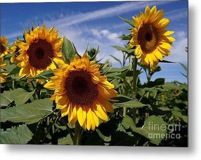 3 Sunflowers Metal Print by Kerri Mortenson