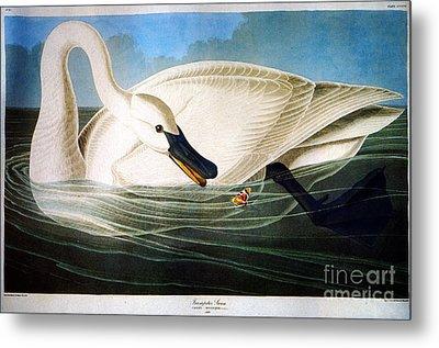 Trumpeter Swan Metal Print by Celestial Images