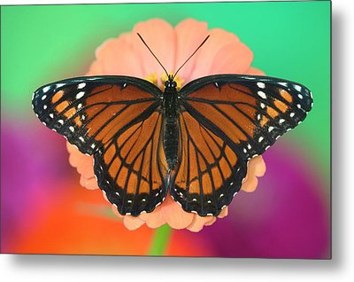 Viceroy Butterfly A Mimic Metal Print