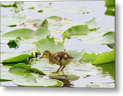 Wa, Juanita Bay Wetland, Mallard Duck Metal Print by Jamie and Judy Wild