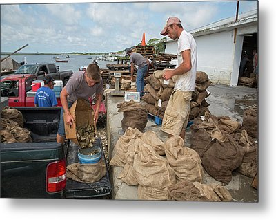 Weighing Harvested Oysters Metal Print by Jim West