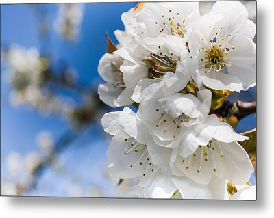White Cherry Blossoms Blooming In The Springtime Metal Print by Nila Newsom