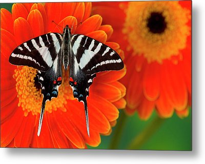 Zebra Swallowtail Butterfly, Eurytides Metal Print