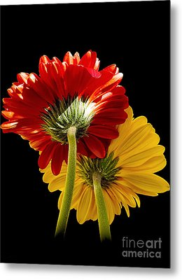 Metal Print featuring the photograph 3093-two Gerbers by Elvira Ladocki