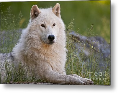 Arctic Wolf Metal Print by Wolves Only