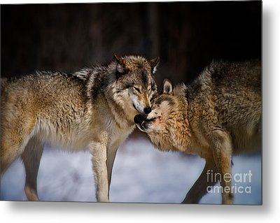 Timber Wolf Pictures Metal Print by Michael Cummings