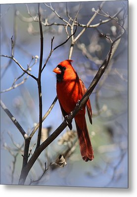 3477-006- Northern Cardinal Metal Print