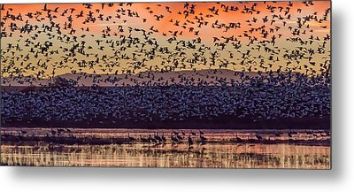 Usa, New Mexico, Bosque Del Apache Metal Print by Jaynes Gallery
