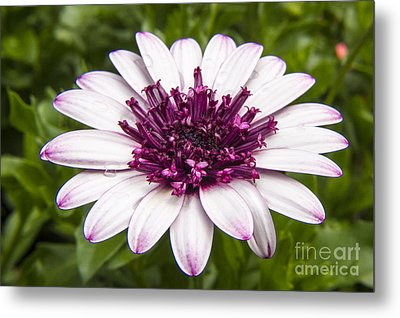 3d Berry White Cape Daisy - Osteospermum  Metal Print by Darleen Stry
