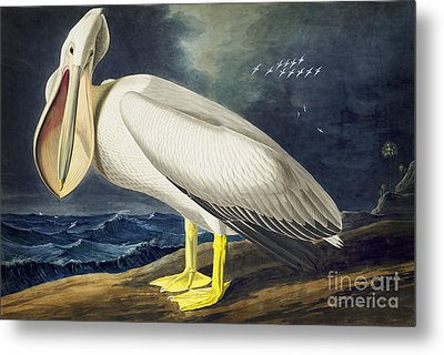 American White Pelican Metal Print by Celestial Images
