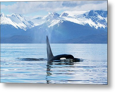 An Orca Whale  Killer Whale   Orcinus Metal Print by John Hyde