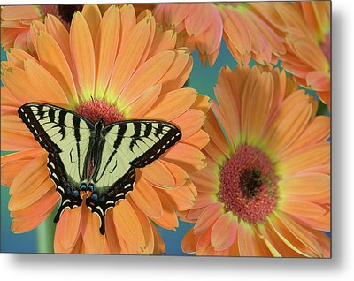 Canadian Tiger Swallowtail Butterfly Metal Print