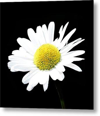 Daisy Flowers  Metal Print