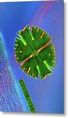 Desmids On Sphagnum Moss Metal Print by Marek Mis