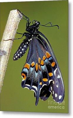 Eastern Black Swallowtail Metamorphosis Metal Print by Millard H. Sharp