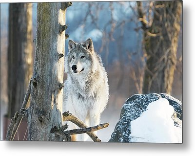 Female Gray Wolf  Canis Lupus Metal Print
