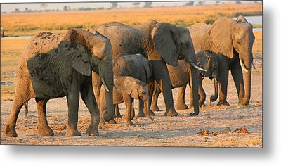 Metal Print featuring the photograph Kalahari Elephants by Amanda Stadther