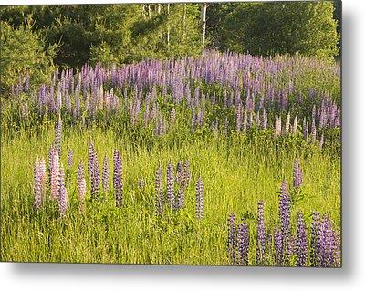 Maine Wild Lupine Flowers Metal Print by Keith Webber Jr