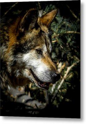 Mexican Grey Wolf Metal Print by Ernie Echols