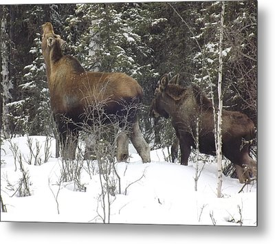 Moose Metal Print by Jennifer Kimberly