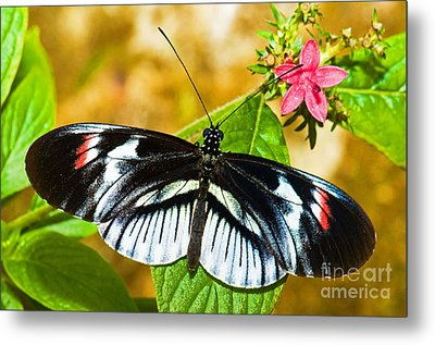 Piano Key Butterfly Metal Print by Millard H. Sharp