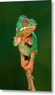 Rainbow Panther Chameleon, Fucifer Metal Print by David Northcott