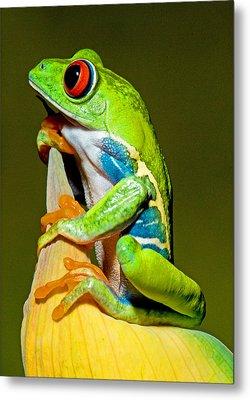 Red-eyed Treefrog Metal Print by Millard H Sharp