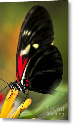 Red Heliconius Dora Butterfly Metal Print