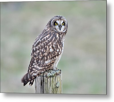 Metal Print featuring the photograph Short-eared Owl by Kathy King