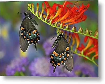 Spicebush Swallowtail, Papilio Troilus Metal Print by Darrell Gulin