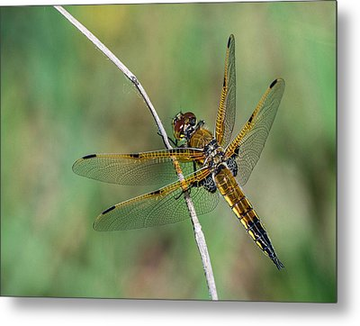 4-spotted Chaser Metal Print