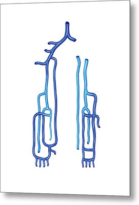 Venous System Of The Upper Limb Metal Print by Asklepios Medical Atlas