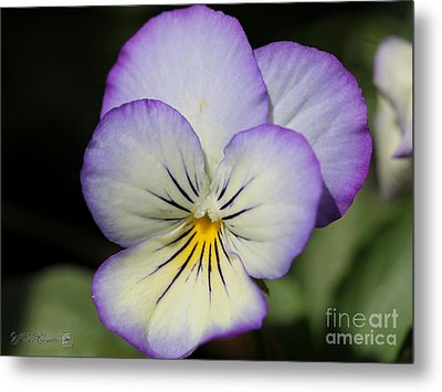 Viola Named Sorbet Lemon Blueberry Swirl Metal Print by J McCombie