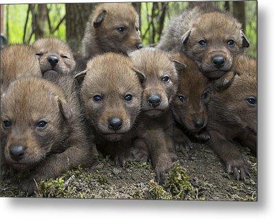 4 Week Old Wild Coyote Pups In Chicago Metal Print