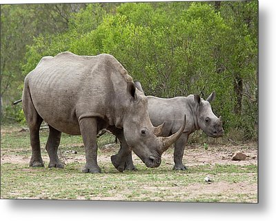 White Rhino And Calf Metal Print
