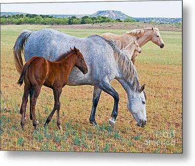 Wild Horse Mother And Foal Metal Print by Millard H Sharp