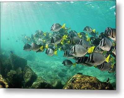 Yellowtail Surgeonfish (prionurus Metal Print by Pete Oxford
