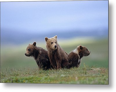 4 Young Brown Bear Cubs Huddled Metal Print by Eberhard Brunner