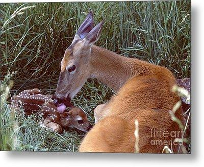 White-tailed Deer Metal Print by Jack R Brock
