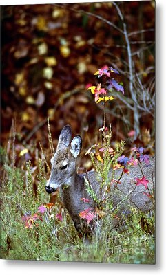 Metal Print featuring the photograph White-tailed Deer by Jack R Brock