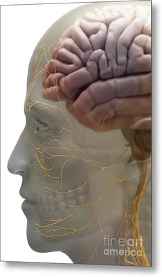 Human Brain Metal Print by Science Picture Co