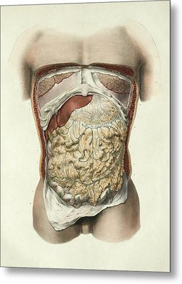 Abdominal Anatomy Metal Print by Science Photo Library