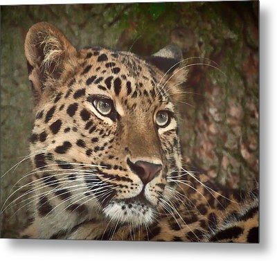 Amur Leopard Metal Print by Chris Boulton