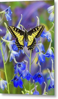 Anise Swallowtail Butterfly, Papilio Metal Print
