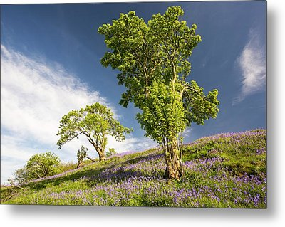 Bluebells Growing On A Limestone Hill Metal Print by Ashley Cooper
