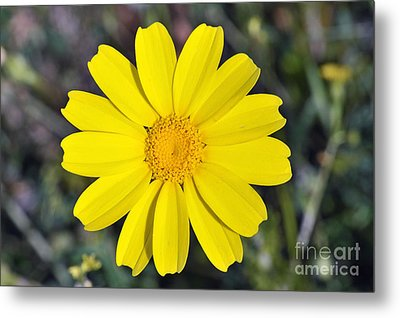 Metal Print featuring the photograph Crown Daisy Flower by George Atsametakis