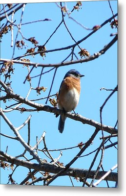 Eastern Bluebird Metal Print by Rebecca Overton