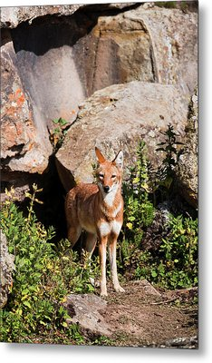 Ethiopian Wolf (canis Simensis Metal Print by Martin Zwick
