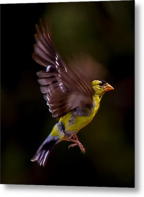 Gold Finch Metal Print by Brian Williamson