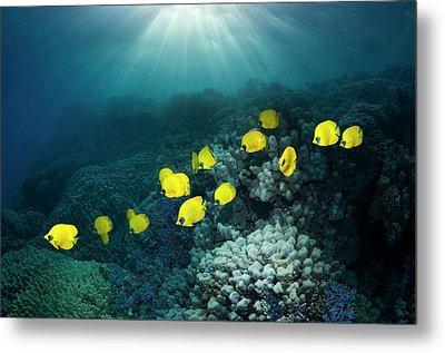 Golden Butterflyfish Metal Print by Georgette Douwma